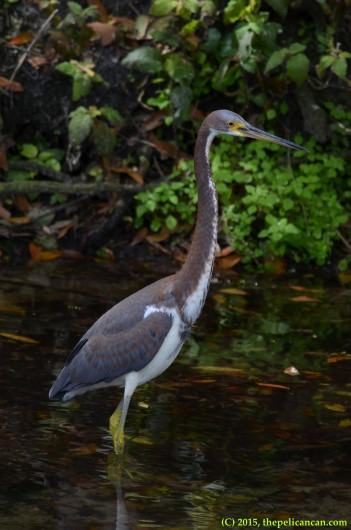 Juvenile tricolored heron (Egretta tricolor) hunts for fish at the rookery at the St. Augustine Alligator Farm in St. Augustine, FL
