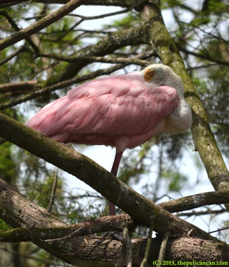 Roseate spoonbill (Platalea ajaja) sleeps at the rookery at the St. Augustine Alligator Farm in St. Augustine, FL