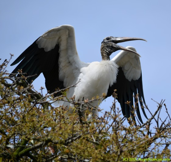 Wood stork (Mycteria americana) flaps wings at the rookery at the St. Augustine Alligator Farm in St. Augustine, FL