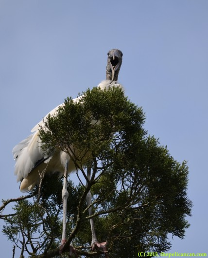 Wood stork (Mycteria americana) at the rookery at the St. Augustine Alligator Farm in St. Augustine, FL