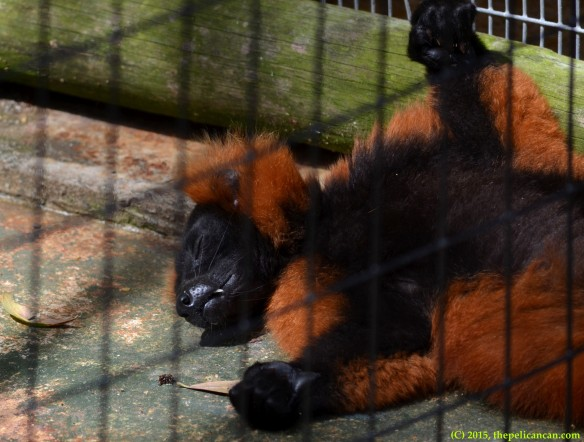 Red ruffed lemur (Varecia rubra) sleeps at the St. Augustine Alligator Farm in St. Augustine, FL