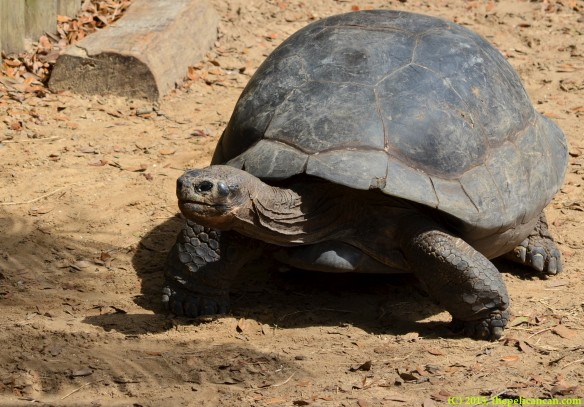 Galapagos tortoise (Chelonoidis nigra) ambling around at the St. Augustine Alligator Farm in St. Augustine, FL