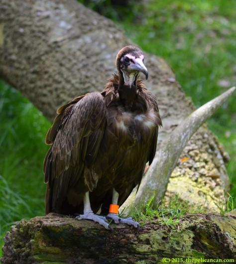 Hooded vulture (Necrosyrtes monachus) at the St. Augustine Alligator Farm in St. Augustine, FL