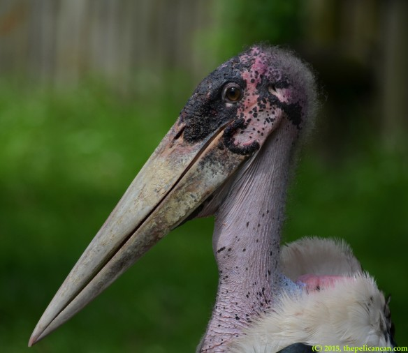 Profile of a marabou stork (Leptoptilos crumenifer) at the St. Augustine Alligator Farm in St. Augustine, FL