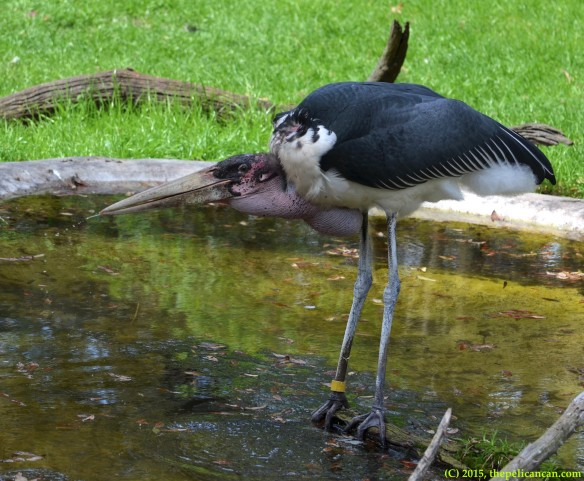 Marabou stork (Leptoptilos crumenifer) takes a sip of water at the St. Augustine Alligator Farm in St. Augustine, FL