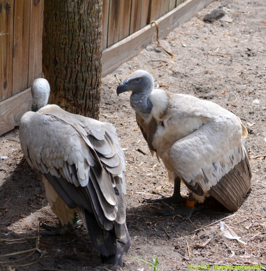 Cape griffon vultures (Gyps coprotheres) at the St. Augustine Alligator Farm in St. Augustine, FL