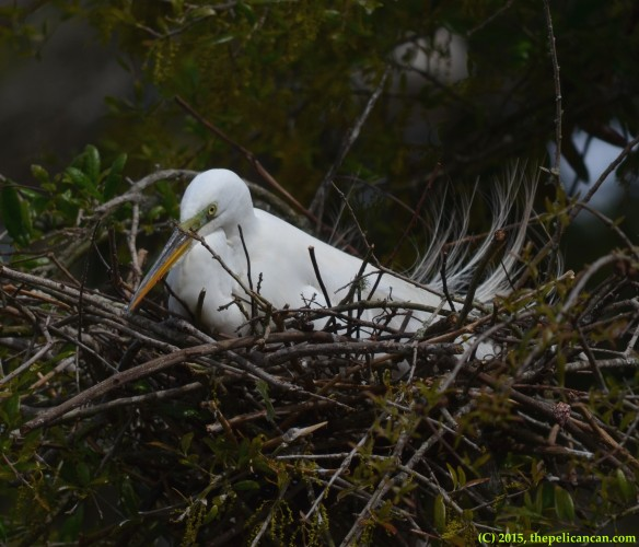 Great egret (Ardea alba) sits on a nest at the rookery at the St. Augustine Alligator Farm in St. Augustine, FL