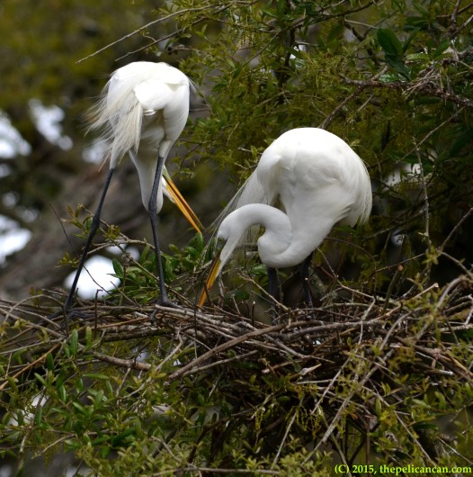 A pair of mated great egrets (Ardea alba) work together on a nest at the rookery at the St. Augustine Alligator Farm in St. Augustine, FL