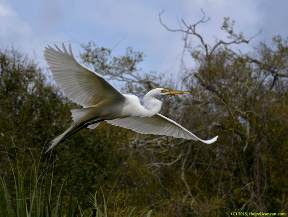Male great egret (Ardea alba) flies to a nest with nesting material at the rookery at the St. Augustine Alligator Farm in St. Augustine, FL