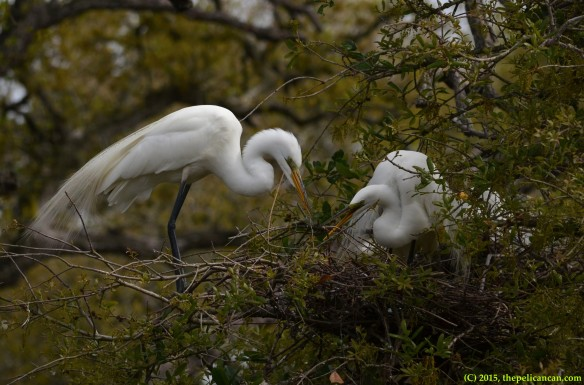 Male great egret (Egretta thula) presents nesting material to his mate at the nest at the rookery at the St. Augustine Alligator Farm in St. Augustine, FL