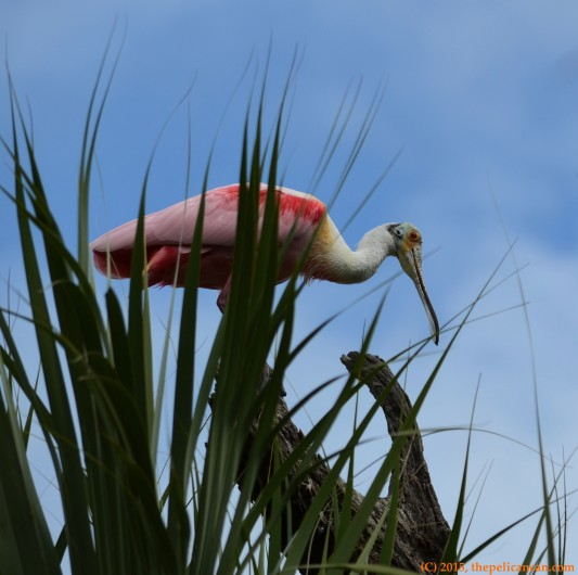 Roseate spoonbill (Platalea ajaja) at the rookery at the St. Augustine Alligator Farm in St. Augustine, FL