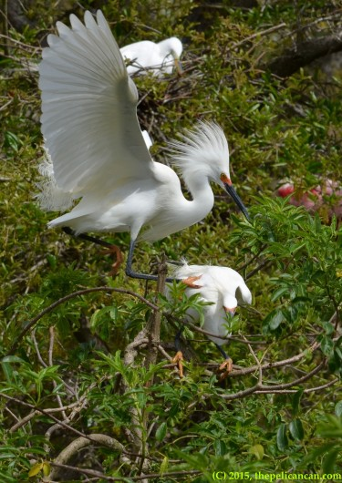 Male snowy egret (Egretta thula) mounts a female for mating at the rookery at the St. Augustine Alligator Farm in St. Augustine, FL