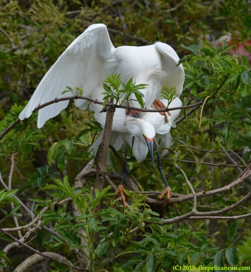 Snowy egrets (Egretta thula) mate with each other at the rookery at the St. Augustine Alligator Farm in St. Augustine, FL