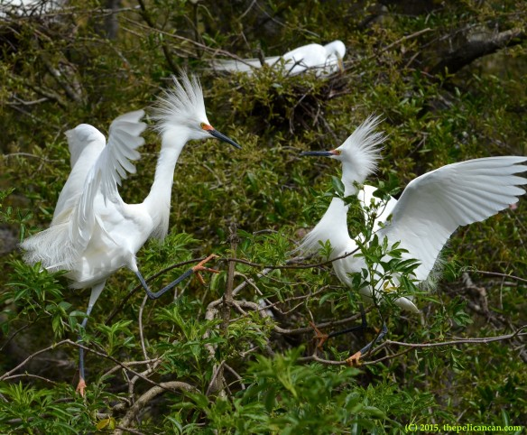 Male snowy egret (Egretta thula) threatens to attack the female he has just mated with at the rookery at the St. Augustine Alligator Farm in St. Augustine, FL