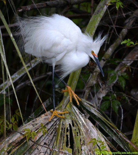 Snowy egret (Egretta thula) stands on a palmetto fan at the rookery at the St. Augustine Alligator Farm in St. Augustine, FL