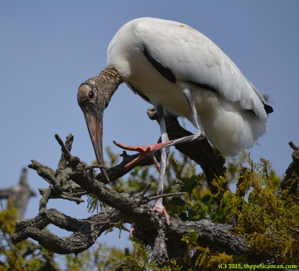 Wood stork (Mycteria americana) scratching an itch at the rookery at the St. Augustine Alligator Farm in St. Augustine, FL