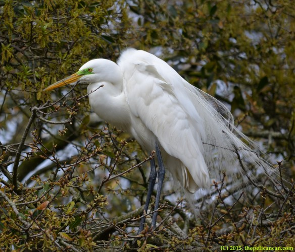 Great egret (Ardea alba) at the rookery at the St. Augustine Alligator Farm in St. Augustine, FL