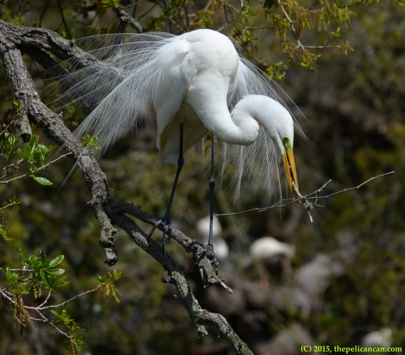 Male great egret (Ardea alba) gathers nesting material at the rookery at the St. Augustine Alligator Farm in St. Augustine, FL