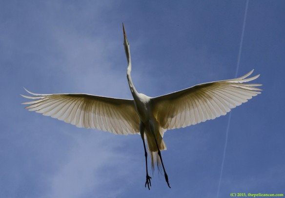 Great egret (Ardea alba) flies overhead at the rookery at the St. Augustine Alligator Farm in St. Augustine, FL