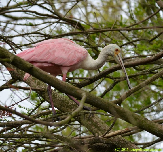 Roseate spoonbill (Platalea ajaja) investigates locations for a nest at the rookery at the St. Augustine Alligator Farm in St. Augustine, FL