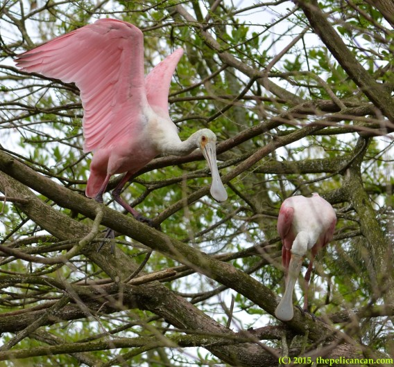 Two roseate spoonbills (Platalea ajaja) investigate locations for a nest at the rookery at the St. Augustine Alligator Farm in St. Augustine, FL