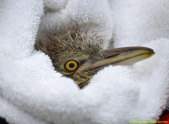 Black-crowned night heron (Nycticorax nycticorax) chick found on and rescued from the ground at the UT Southwestern rookery in Dallas, TX