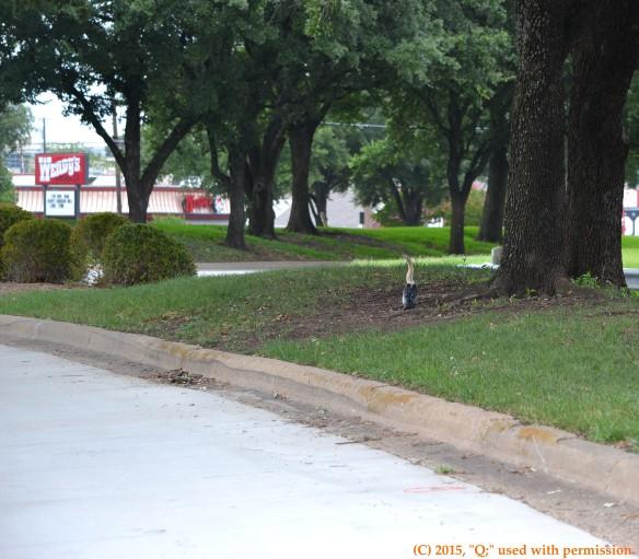 Juvenile anhinga (Anhinga anhinga) stranded on a traffic island near Harry Hines Boulevard and Inwood Road in Dallas, TX
