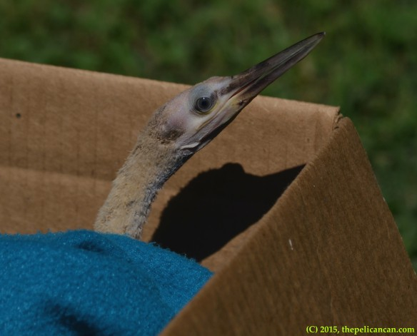Juvenile anhinga (Anhinga anhinga) found on the ground at the UT Southwestern rookery in Dallas, TX and rescued